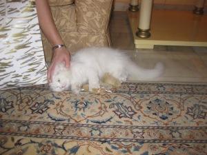 pisica alba